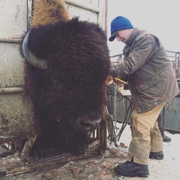 Bò rừng Bison