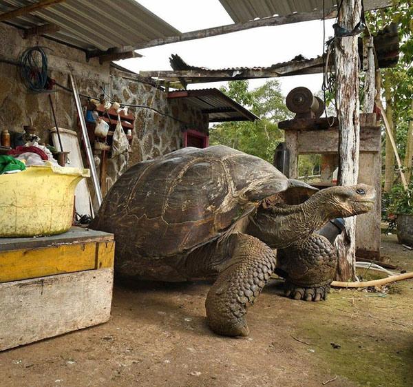 Loài rùa Galápagos khổng lồ