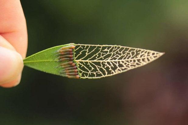 """Nghệ thuật ăn tài tình của lũ sâu khiến chiếc lá chỉ còn lại """"bộ xương"""""""
