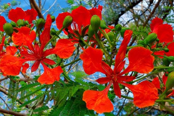 Ảnh hoa phượng đỏ 2