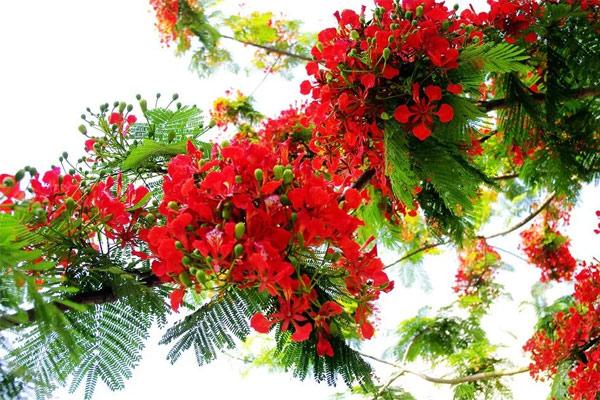 Ảnh hoa phượng đỏ 3