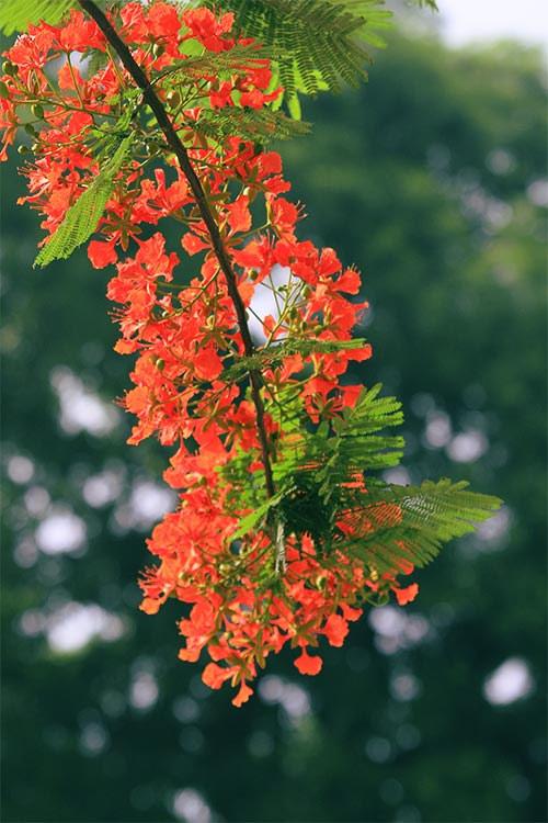 Ảnh hoa phượng đỏ 4