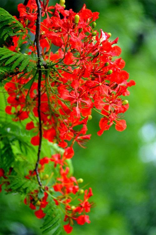 Ảnh hoa phượng đỏ 5