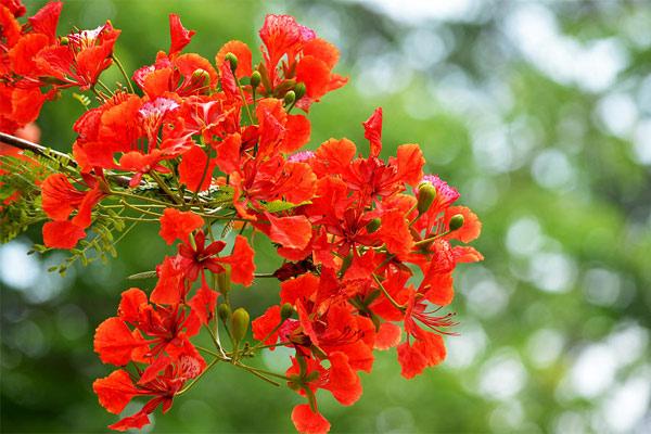 Ảnh hoa phượng đỏ 6