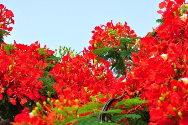 Ảnh hoa phượng đỏ 9