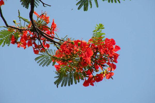Ảnh hoa phượng đỏ 10