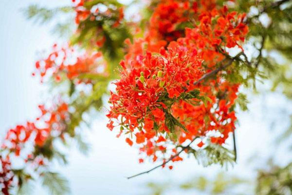 Ảnh hoa phượng đỏ 11