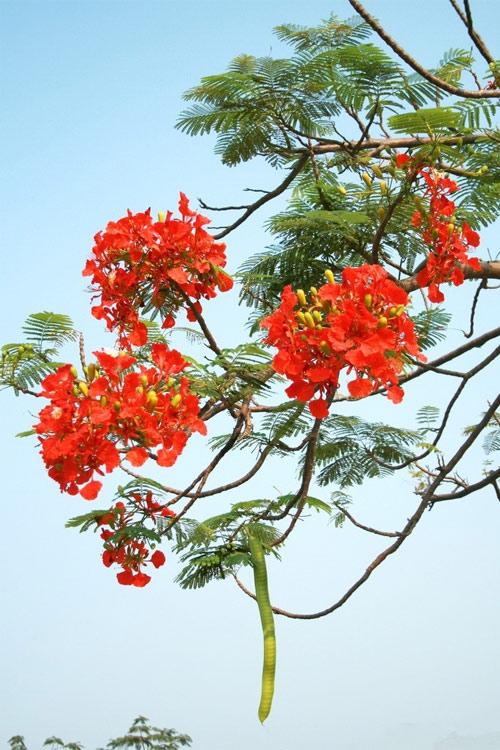 Ảnh hoa phượng đỏ 12
