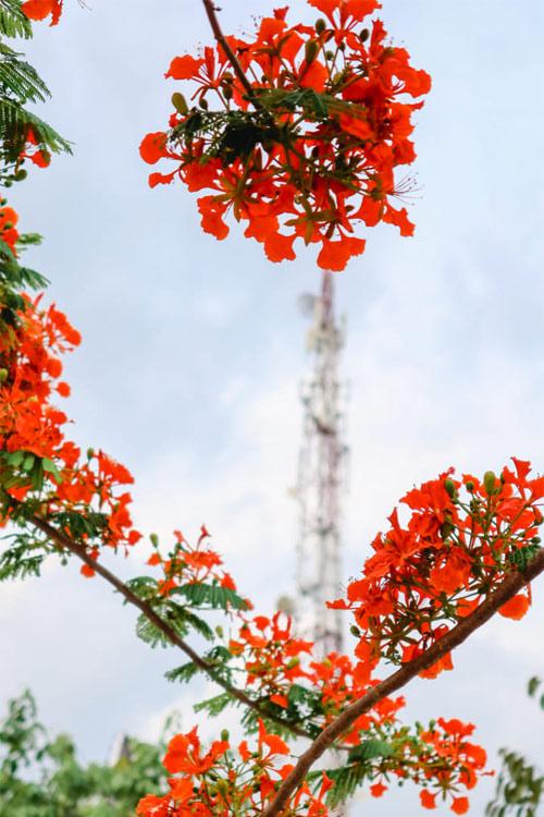 Ảnh hoa phượng đỏ 14