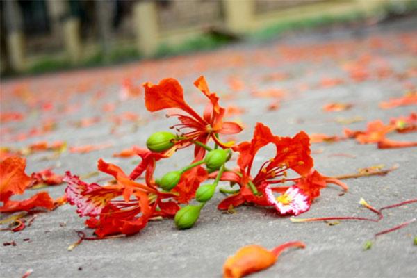 Ảnh hoa phượng đỏ đẹp