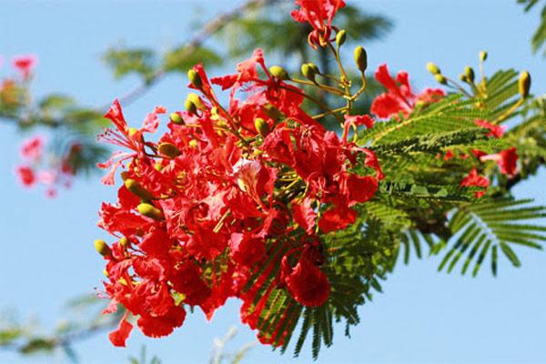Hoa phượng đỏ rực rỡ