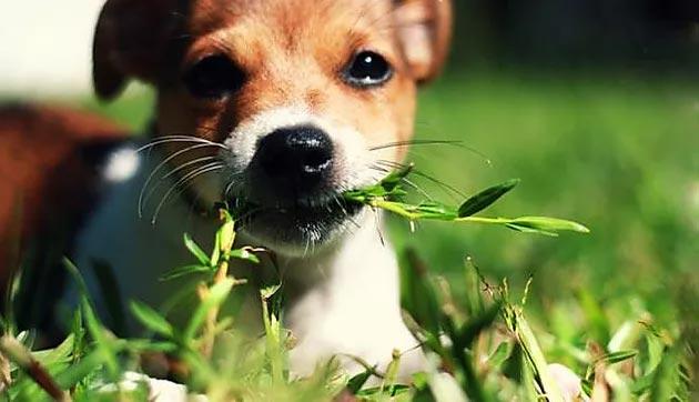 Cho thường ăn cỏ để gây nôn