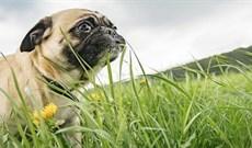 Tại sao loài chó đôi khi lại ăn cỏ?