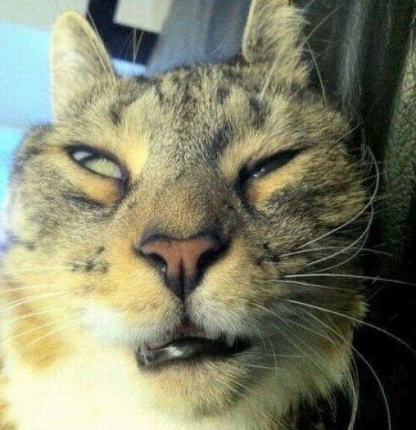 mèo ngáo ngơ
