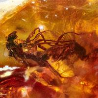 Phát hiện hóa thạch của cặp ruồi đang giao phối có niên đại 41 triệu năm