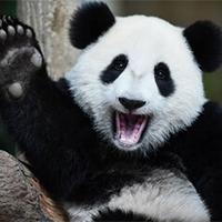 1000 câu hỏi vì sao: Gấu trúc sinh ra chỉ nặng bằng 1/900 gấu mẹ