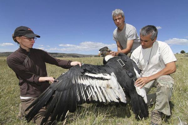 Các nhà khoa học gắn thiết bị lên một con thần ưng Andes. Ảnh: AP.