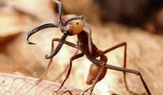 Kiến quân đội: Loài kiến nguy hiểm nhất hành tinh, có hàm răng nối lành được vết thương của người