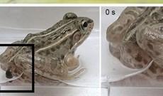 Sinh vật lì lợm nhất quả đất: Sau khi bị ăn thịt vẫn ngoe nguẩy chui ra từ hậu môn của ếch