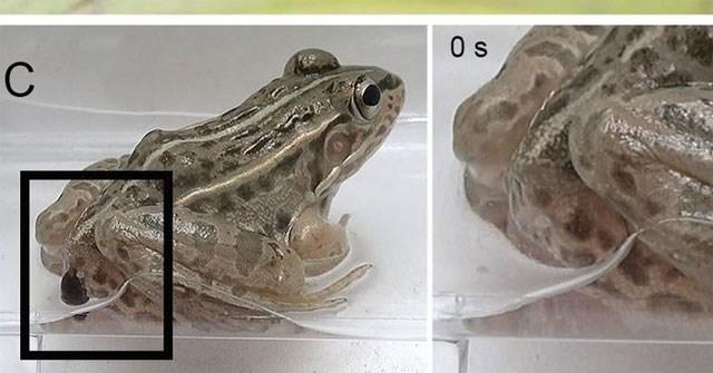 Sau khi bị ăn thịt, bọ cánh cứng vẫn ngoe nguẩy chui ra từ hậu môn của ếch một cách khó tin