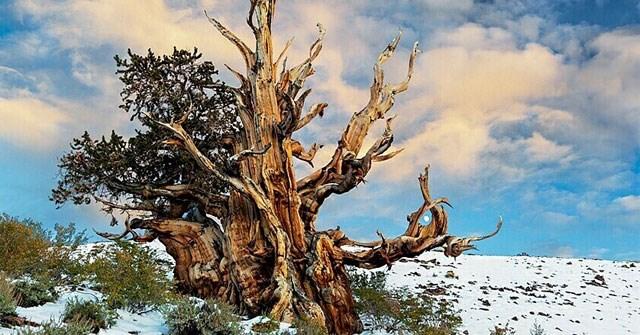 6 cây cổ thụ lâu đời nhất Trái Đất, cây già nhất có tuổi đời lên tới hơn 80.000 năm