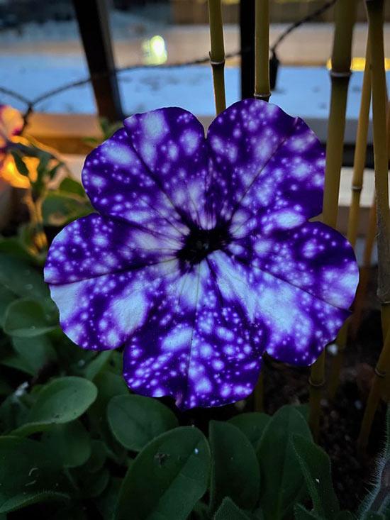 Bông hoa Dạ Yến Thảo đột biến mang màu sắc của vũ trụ tuyệt đẹp