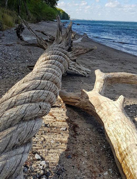 Thân cây xoắn quẩy như sợi dây thừng khổng lồ