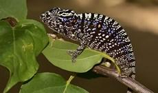Loài tắc kè hoa tuyệt chủng 107 năm bất ngờ được tìm thấy trên các cánh rừng Madagascar