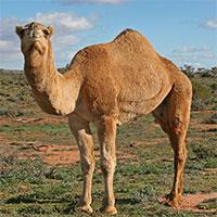 5 sự thật kỳ lạ về loài lạc đà mà không phải ai cũng biết