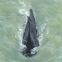 Cá voi lưng gù bất ngờ được phát hiện ở trên một con sông đầy cá sấu