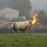 90 chú bò thi nhau 'xì hơi' khiến cả trang trại bị nổ
