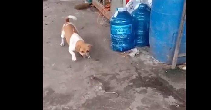 Chuột cống đối đầu chó nhà và cái kết đầy hài hước