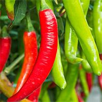 Thường xuyên ăn ớt có thể giúp giảm đáng kể nguy cơ tử vong do các bệnh lý nguy hiểm ở người?