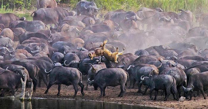Hình ảnh con sư tử cái bị hơn 100 con trâu rừng húc chết