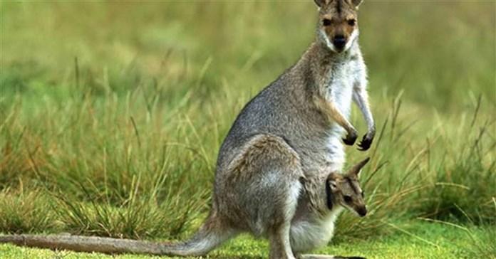 Bên trong túi của Kangaroo có gì? Câu trả lời sẽ khiến bạn kinh ngạc