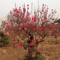 Top 5 địa chỉ bán và cho thuê quất đào đẹp tại Hà Nội