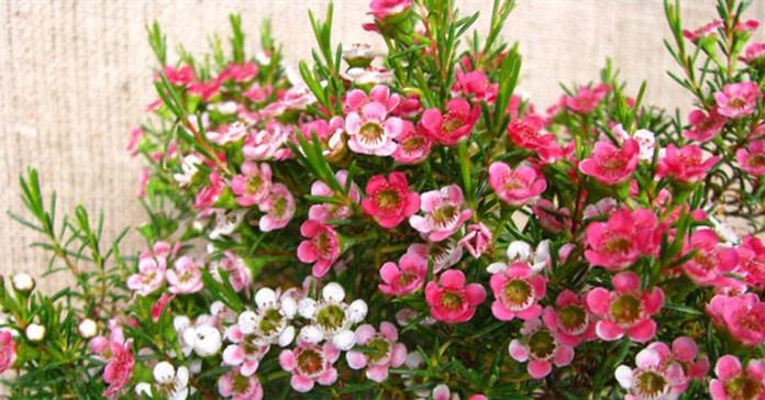 Hoa thanh liễu là hoa gì?  Ý nghĩa và cách cắm hoa thanh liễu đẹp