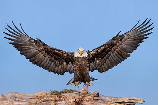 Đại bàng được mệnh danh là chúa tể bầu trời