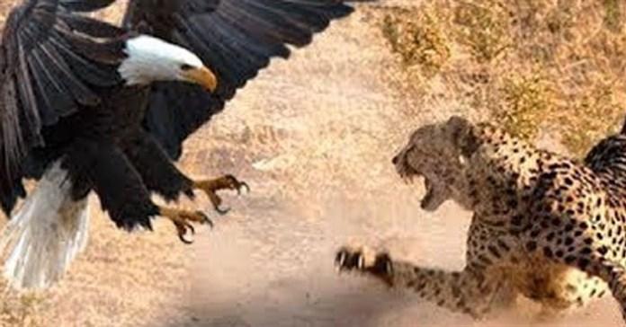 Ăn thịt báo con, đại bàng nhận đòn trả thù kinh hoàng từ báo mẹ
