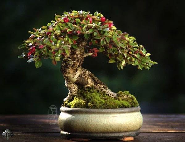 Cây cảnh nhỏ - một cây Shohin của Morten Albek