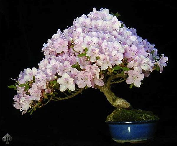 Bonsai có hoa, của Wolfgang Putz