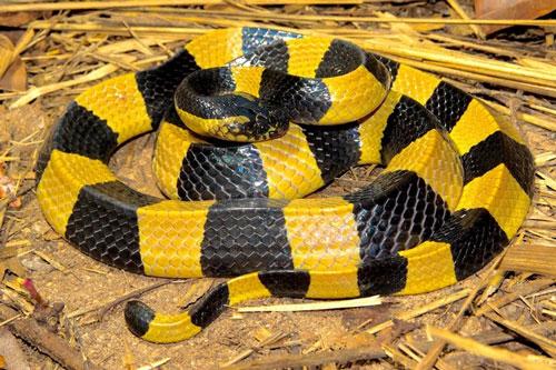 Rắn cạp nong có khoang đen vàng. Ảnh: Thailand Snakes.