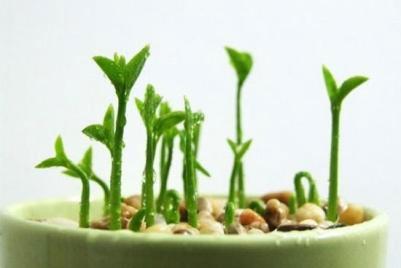 Khoảng 3 – 5 ngày, hạt sẽ nảy mầm