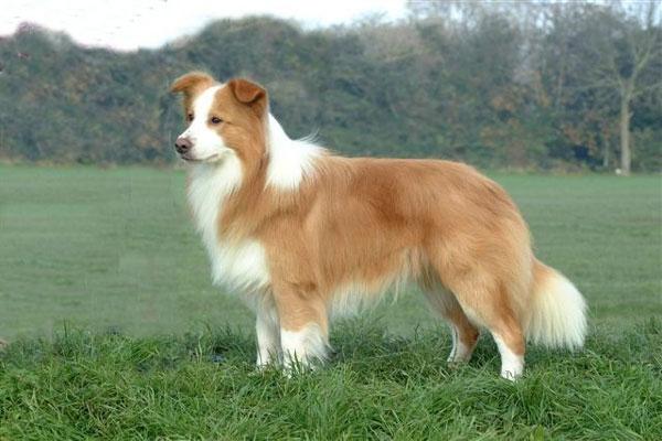 Chó Collie biên giới