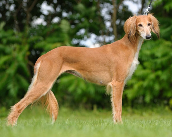 Chó Saluki