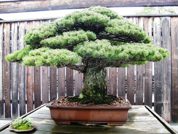 Cây bonsai Thông trắng 400 tuổi ở Nhật Bản. Ảnh: Bảo tàng Quốc gia Bonsai & Penjing