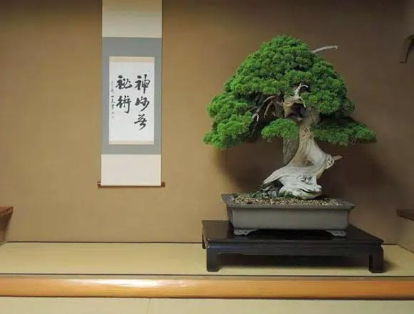 Cây bonsai hơn 800 năm tuổi 2