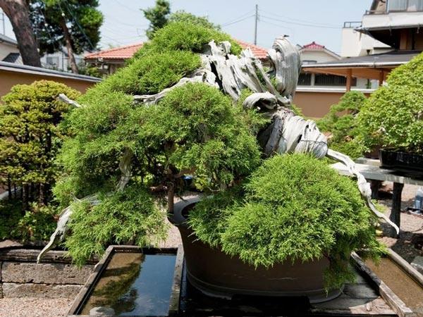 Cây bonsai Bách xù. Ảnh: Morten Albek.