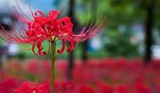 Hoa bỉ ngạn là hoa gì? Ý nghĩa và truyền thuyết về hoa bỉ ngạn