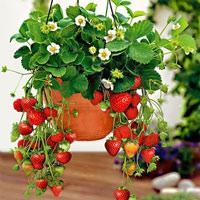Cách trồng và chăm sóc dâu tây tại nhà đơn giản, cho quả chín mọng